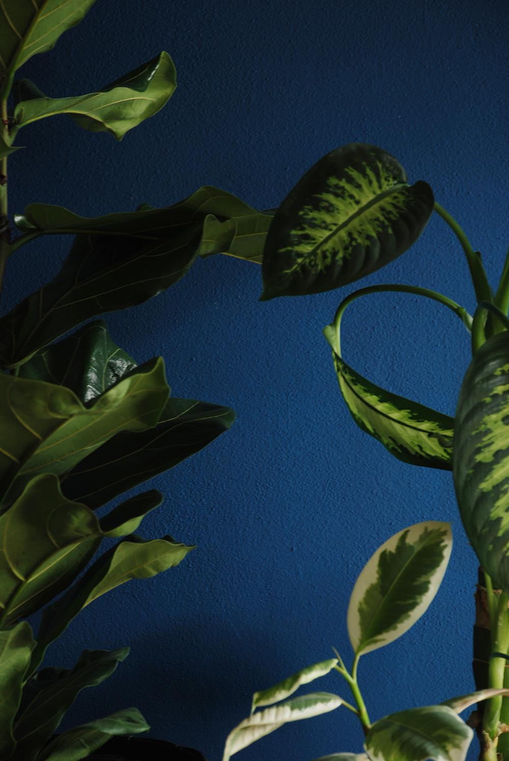 Ficus-Lyrata-01