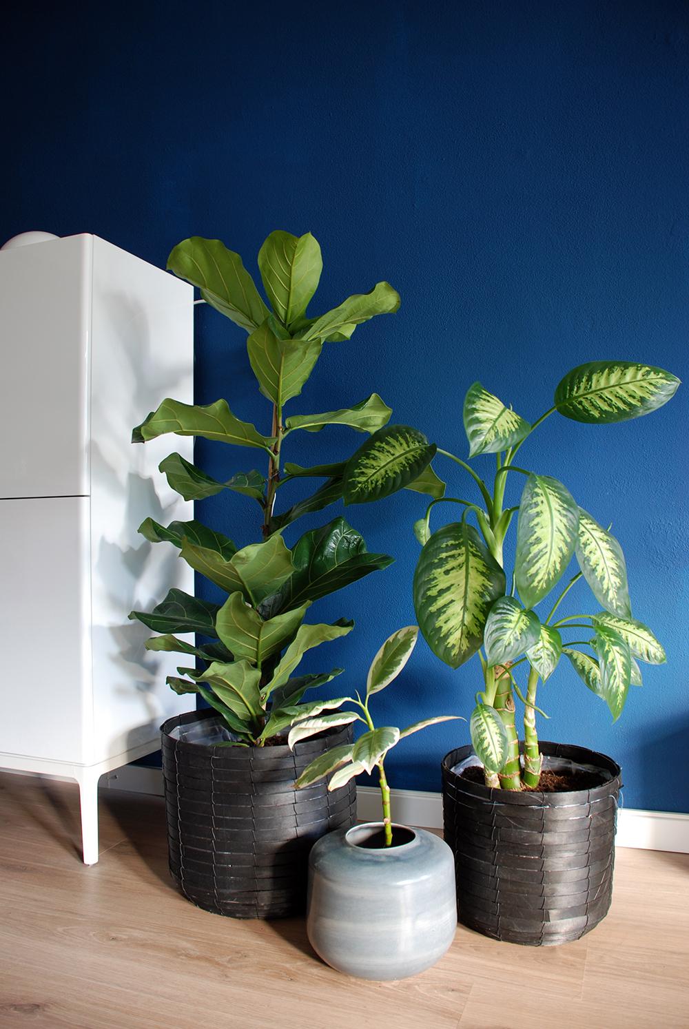 Ficus-Lyrata-03
